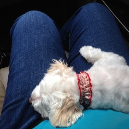 Relaxing on my lap on the way home from the groomer.